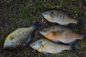 Bluegills and Sunnies